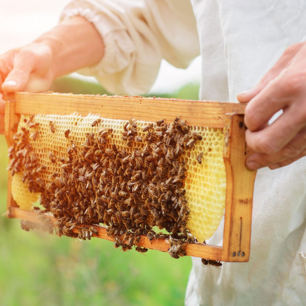 beekeeper holds a honey cell with bees in his hands